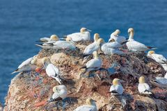 Northern gannets in breeding colony at cliffs of German Helgolan Stock Image