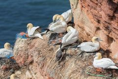 Northern gannets in breeding colony at cliffs of German Helgolan. Northern gannets in breeding colony at cliffs of Helgoland island, Germany stock image