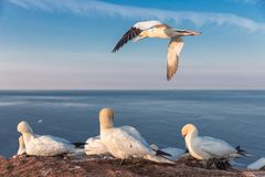 Northern gannets in breeding colony at cliffs of German Helgolan royalty free stock photography