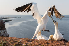 Northern Gannets brooding at cliffs of German island Helgoland. Northern Gannets brooding at red cliffs of German island Helgoland stock image