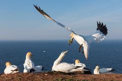 Northern gannets building a nest at German island Helgoland. Northern gannets building a nest with kelp at the cliffs of German island Helgoland in the Northsea stock photography