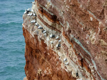 Northern gannets on cliff, Heligoland, Germany Royalty Free Stock Images