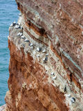 Northern gannets on cliff, Heligoland, Germany Royalty Free Stock Photos