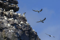 Northern Gannet - Sula bassana, Shetlands, United Kingdome. Northern Gannets on the cliff in Shetlands, Scotland Stock Image