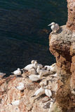 Northern gannets Stock Photography