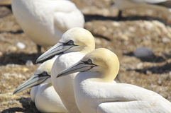 Northern Gannets Royalty Free Stock Photography
