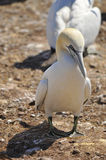 Northern Gannets Royalty Free Stock Images