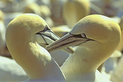 Northern Gannets courting - Gulf of St. Lawrence. Pair of Northern Gannets (Morus bassanus) courting - Bonaventure Island, Gulf of St. Lawrence, Quebec, Canada stock photography