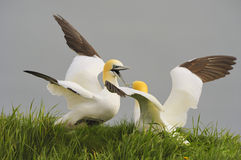Northern Gannets Fighting Royalty Free Stock Photography