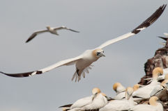 Northern gannets in flight Royalty Free Stock Photos