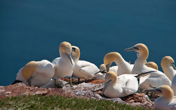 Northern Gannets on Helgoland, Germany Stock Photo