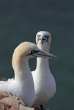 Northern Gannets (Morus bassanus) Stock Photo