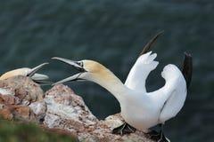 Northern Gannets (Morus bassanus) Stock Image