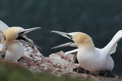 Northern Gannets (Morus bassanus) Stock Photography