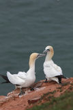 Northern Gannets (Morus bassanus) Royalty Free Stock Image