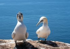 Northern gannets Morus bassanus on rock against sea royalty free stock image