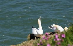 Northern Gannets Morus Bassanus. Striking portrait of two adult Gannets ,on a cliff edge, with the North sea in the background Royalty Free Stock Image