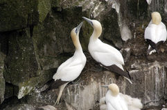Northern Gannets, Nesting. A pair of Northern Gannets nesting on a rocky cliff in Cape St. Marys Ecological Reserve, in Newfoundland, Canada Royalty Free Stock Photo