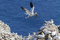Northern Gannets nesting at Cape St. Mary`s