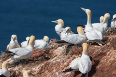 Northern Gannets at red cliffs of German island Helgoland. Northern Gannets at red cliffs of island Helgoland, Germany stock image