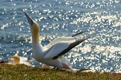 Northern gannets on a rock