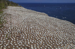 Northern Gannets Rookery on Bonaventure Island Stock Images