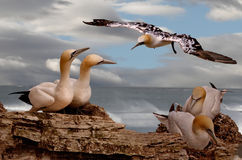 Northern Gannets in Scotland. Northern Gannets spend the summer together at various sites around the British and Irish coasts Stock Image