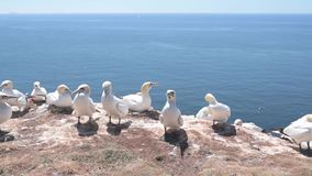 Northern gannets seabirds on high coast of Helgoland island stock footage