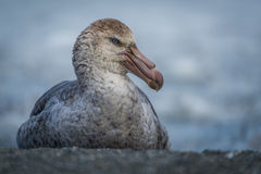 Northern giant petrel sitting on sandy beach Royalty Free Stock Photography