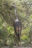 Northern giraffe Stock Photography