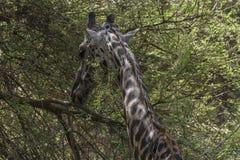 Northern giraffe Stock Photos