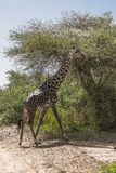 Northern giraffe Royalty Free Stock Images