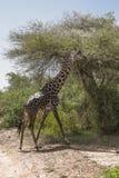 Northern giraffe. Giraffa camelopardalis  in Lake Manyara National Park and    Conservation Area, Tanzania. Africa Royalty Free Stock Images