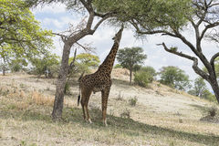 Northern giraffe Royalty Free Stock Photography