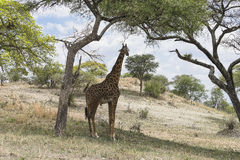 Northern giraffe Stock Images
