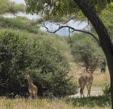 Northern giraffe Stock Photo