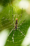 The Northern Golden Orb Weaver creating it's web, Indonesia. Royalty Free Stock Image