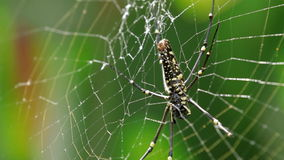 The Northern Golden Orb Weaver or Giant Golden Orb Weaver (Nephila pilipes) creating it's web, ventral side. stock video