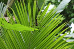 Northern Golden Orb Weaver Stock Photos
