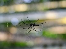 Northern golden orb weaver Royalty Free Stock Images