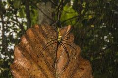 Northern Golden Orb Weaver in Sinharaja Rain Forest Stock Image