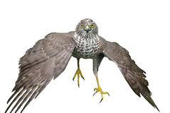 Northern goshawk. A portrait on a white background Stock Photo