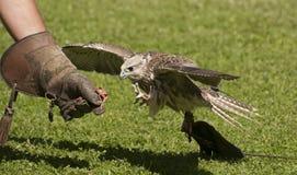 Northern Goshawk. The Northern Goshawk is a medium-large bird of prey Royalty Free Stock Photo