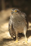Northern goshawk Stock Photography