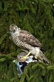 Northern Goshawk. (Accipiter gentilis) with prey Royalty Free Stock Photo