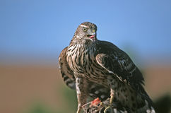 Northern Goshawk. Accipter gentilis,on his prey Stock Images
