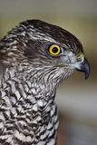 Northern Goshawk. (Accipiter gentilis). Courageous portrait of a predator Royalty Free Stock Photography