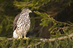 Northern Goshawk (Accipiter gentilis) Royalty Free Stock Images