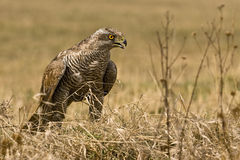 Northern Goshawk (Accipiter gentilis) Stock Images