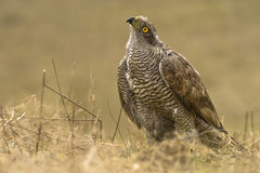 Northern Goshawk (Accipiter gentilis) Stock Image
